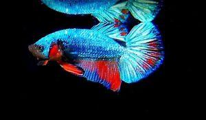 1 MALE RARE BLUE  DRAGON AVATAR BETTA LIVE FISH FIGHTING FISH GRADE AAA .