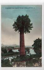 TREE GROWN THROUGH CHIMNEY: Jamaica postcard (C19194)