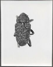 Unusual Vintage Photo Doralis Female Beetle Bug Specimen Entomology 258111