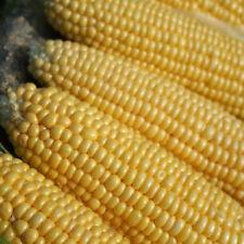 Vegetable - Sweet Corn - Earliking - 50 Seeds