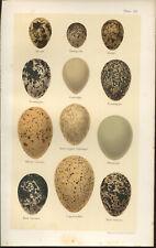 SEEBOHM Antique BIRDS EGGS print 1896 Chromolithograph  Plate 59