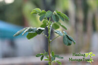 50PCs Morgina Oleifera Seeds Bonsai Potted Trees Potted Home Gardening Planting