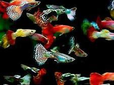 10 FISH X MALE ASSORTED GUPPY FISH POECILIA RETICULATA PERFECT