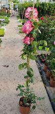 PIANTA  DI ROSA RAMPICANTE IN VASO CM 21 (foto reali) colori assortiti