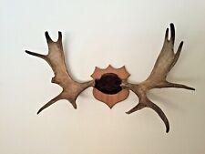 "Large Moose Antlers tagged 1957 b.c. Mounted Vintage 36"" span"