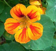NASTURTIUM MIX - Tropaeolum majus - 40 seeds - ANNUAL FLOWER