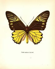 "1963 Vintage PROCHAZKA BUTTERFLY ""CRAMER TROIDES AMPHRYSUS"" COLOR Lithograph"