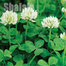 200pcs/Bag Trifolium Repens White Dutch Clover Seeds Four Leaf Clover Seeds