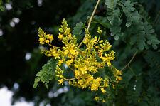 Leopard Tree Seed Beautifully Mottled Bark Pea Flower Deciduous Hard Pods