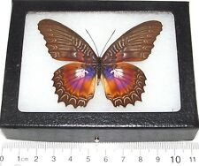 REAL FRAMED BUTTERFLY PINK PURPLE BLUE CETHOSIA MYRINA INDONESIA