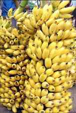 10+ Fresh Musa Acuminata edible Dwarf Banana tree plant seeds tropical fruit