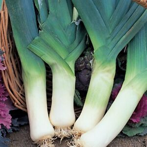 50 GIANT LEEK Seeds – Large Variety – Excellent Cropper – Hardy – Free Postage