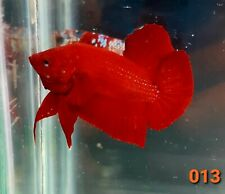 Betta Fish Male Super Red Plakat HMPK Indonesia