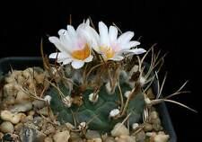Turbinicarpus Macrochele (10 SEEDS) Cactus Samen Korn Semi Semilla 種子 씨앗 Семена