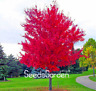 100 Pcs Seeds Red Japanese Maple Plants Tree Flores Bonsai Garden Decor Home NEW