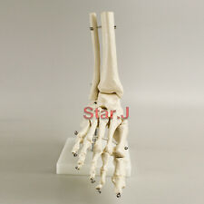 Foot and Ankle Joint Anatomical Skeleton Model Medical Display Teaching School