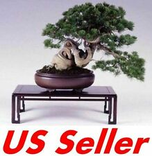 20 Pcs Japanese Holly Leaf Pine Seeds T11, Evergreen Tree Us Seller