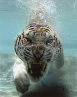 Nature WHITE BENGAL TIGER under water Glossy 8x10 Photo Print Wall Art Poster