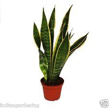 Live Snake Plant Air Purifier Plant Sansevieria trifasciata 2 Plants