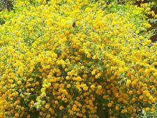 Pianta Kerria del Giappone Kerria Japonica