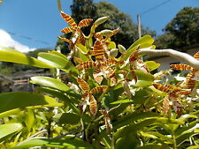 Bin-Trichoglottis fasciata - Easy to grow! Blooming size! collector's item! Nice