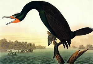 Audubon's > Birds of Florida ( Lot of 4 )  16x12  Prints