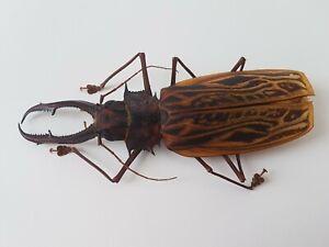 MACRODONTIA Cervicornis MONSTER 16.4 cm Cerambycidae Peru Prioninae