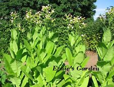 Organic Rose Tobacco seed kit, NEW! Grow your own natural tobacco in 2017! Save!