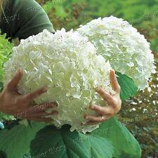 Garten 20 Weiße Hydrangea-Seeds Deer Resistant einfach zu wachsen  DIY