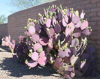 Opuntia violaceae Purple Santa Rita Prickly Pear Cactus Plant Pad Cuttings Lot 6