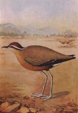 INDIAN BIRDS. The Indian Courser 1943 old vintage print picture