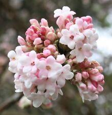 Viburnum bodnatense Dawn fragrant pink  winter spring flowers bees 9cm