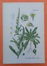Färber wau (Reseda luteola) Färber planta restauraremos litografía 1890
