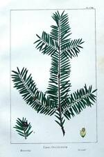 TAXUS OCCIDENTALIS, WESTERN YEW  Antique Botanical  Tree Print c1850