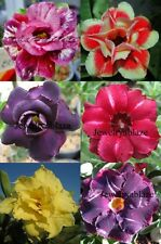 """NEW!!!! BEAUTY! ADENIUM """"Mixed"""" 6 GRAFTED PLANTS RARE!!!"""