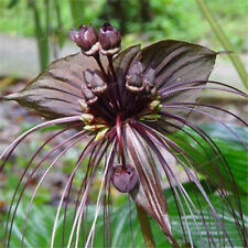 Black Bat Plant Seeds Unusual Flowers Tropical/Subtropical Protected or Indoors