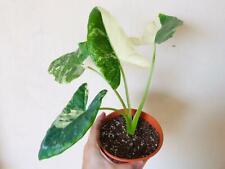 Alocasia Macrorrhiza Variegata Ornamental Plants Free Phytosanitary DHL EXPRESS