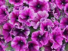 Petunia Seeds Freedom Plum 50 Pelleted Petunia Seeds