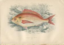 "1877 Couch's ""SEA BREAM""  Sea Fishes - Hand-Coloured Fish Lithograph Print"