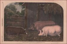 PIGS, SUFFOLK & ESSEX, Cat Watch Beautiful hand colored engraving, original 1860