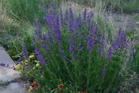 Penstemon- Rocky Mountain--  100 Seeds- BOGO 50% off SALE