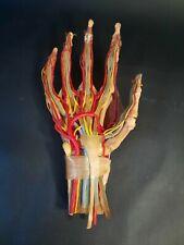 Hand Vintage Medical Plastics Laboratory Anatomical Model