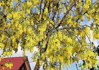 winterharter Goldregen ein wunderschöner Zierstrauch für Ihren Garten Samen Exot