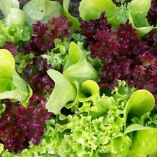 Seeds Lettuce Salad Balcony Mix Organically Grown Vegetable 1000 Seeds