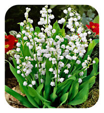 Convallaria Majalis 'Lily of the Valley' Jumbo Planting Pips x 15