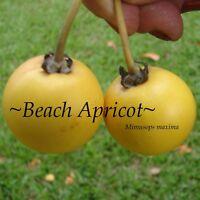 ~BEACH APRICOT~ Mimusops maxima SEASIDE FRUIT TREE Salt & Wind LIVE potd Plant