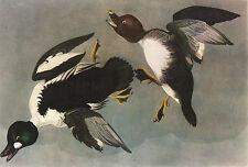 "JAMES AUDUBON 1937 Book Print ""AMERICAN GOLDEN-EYE"" Birds of America"
