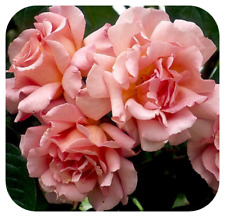 Climbing Rose Bare Root Plant 'Compassion' Fragrant Pink Double Roses