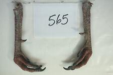 "1 PAIR. WILD TURKEY FEET W/LARGE SPURS 1 , 15/16"" lot 565"