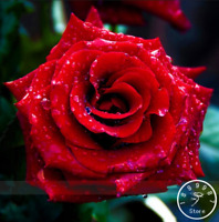 Strong Fragrant Red Rose Flowers Bonsai 50 Pcs Seeds Big Blooming Garden Rose B
